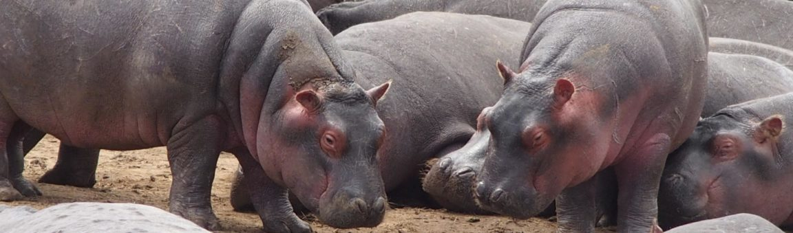 I Want a Pet Hippo!
