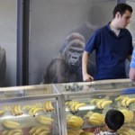 Gorilla Sales Skyrocket After Latest Gorilla Attack